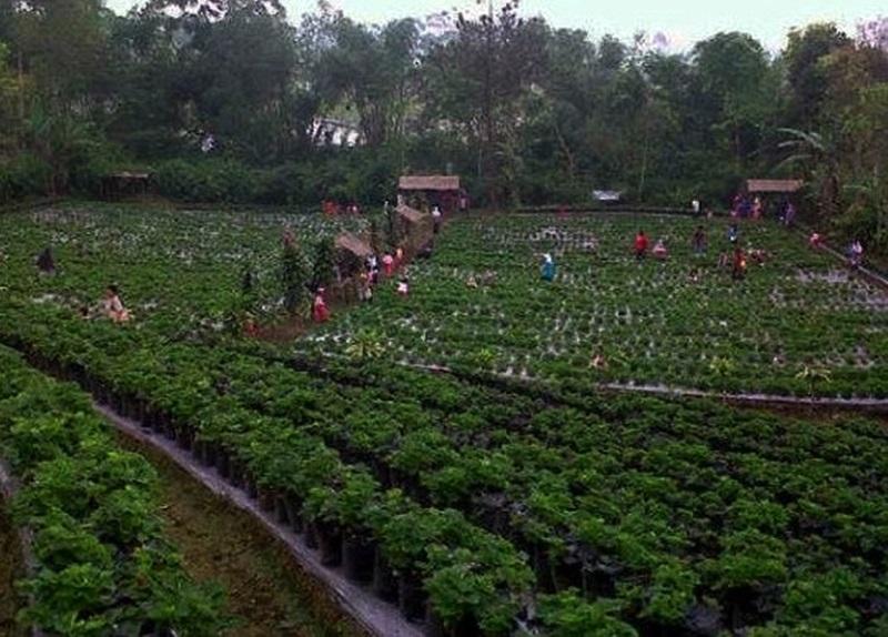 wisata Agro Kebun Strawberry Tempat Wisata Purbalingga Yang Wajib Dikunjungi